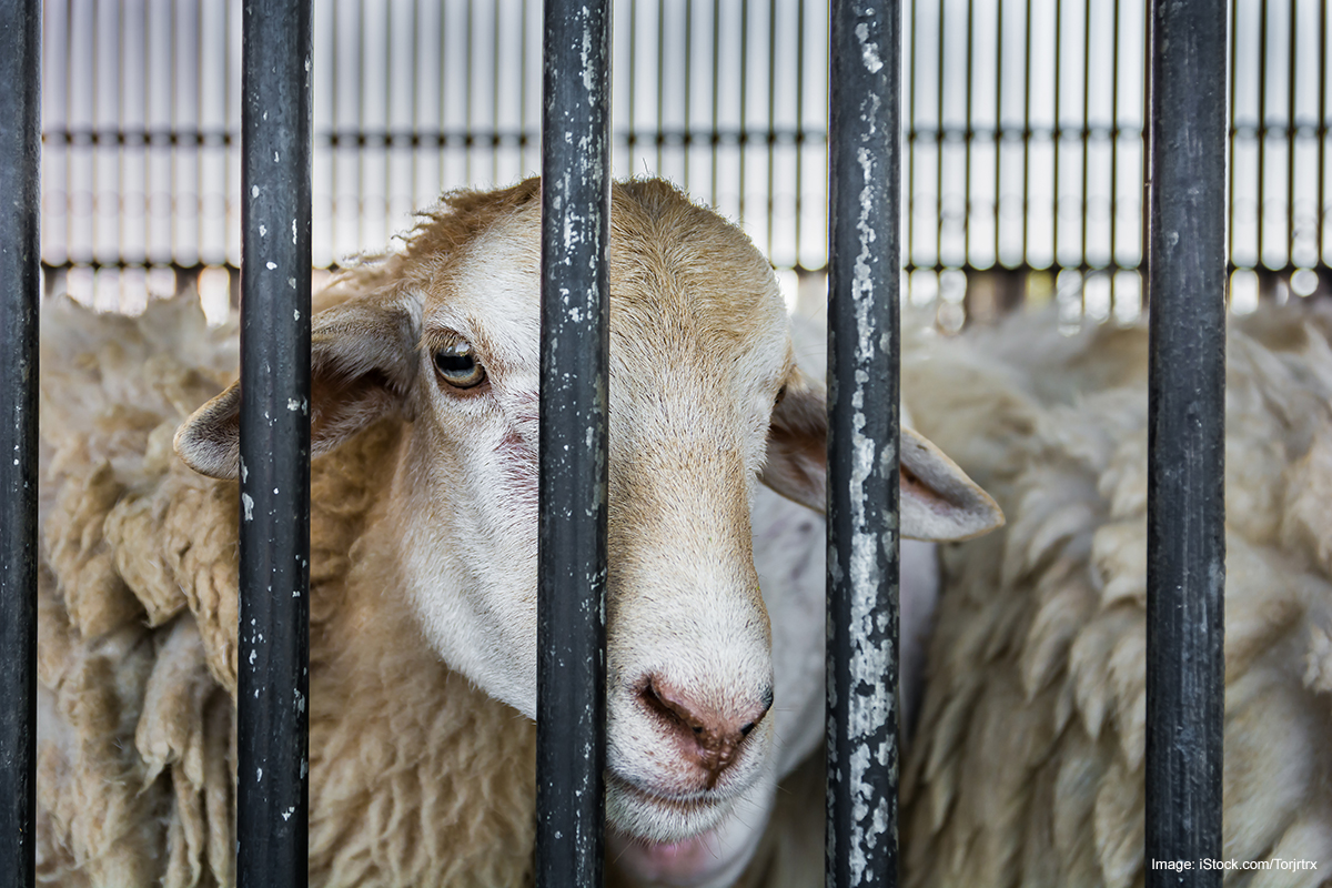 hungry sheep behind the cage in sheep farm.